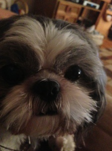 I am also passionate about my cousin's brigade of tiny shih-tzu pups.